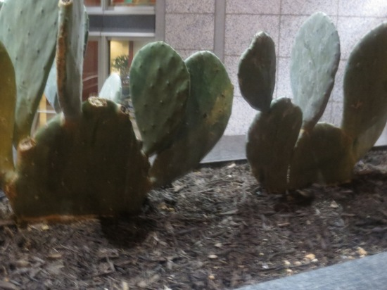 Street cacti next to an office building