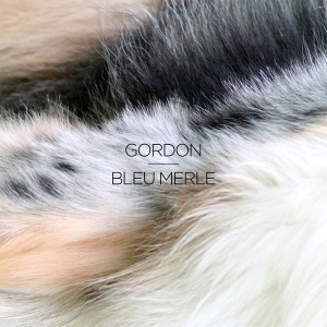 Gordon: Bleu Merle